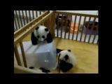 Панда отчаянно пытается сбежать из неволи :)